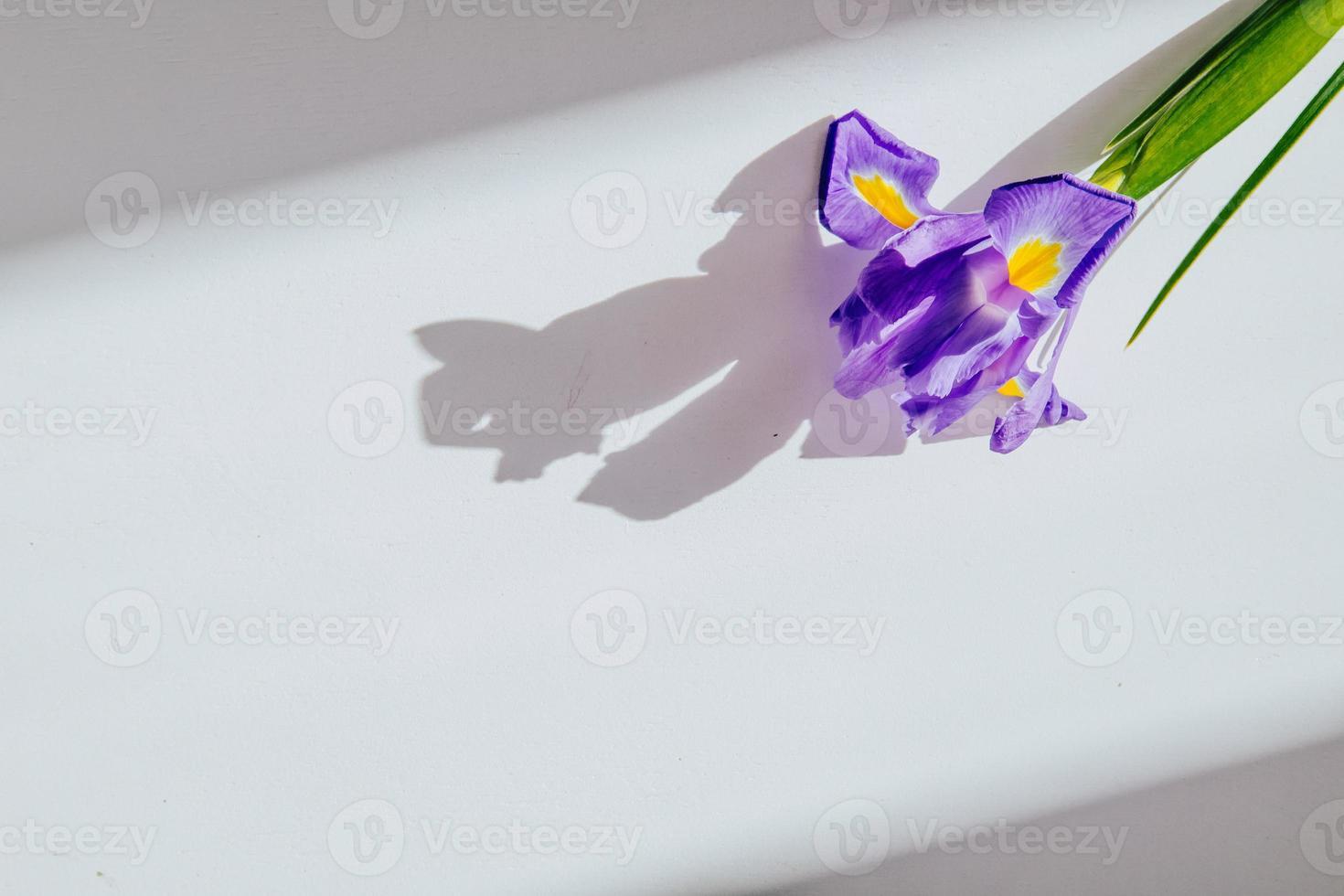 Flor de iris púrpura sobre un fondo blanco con espacio de copia foto