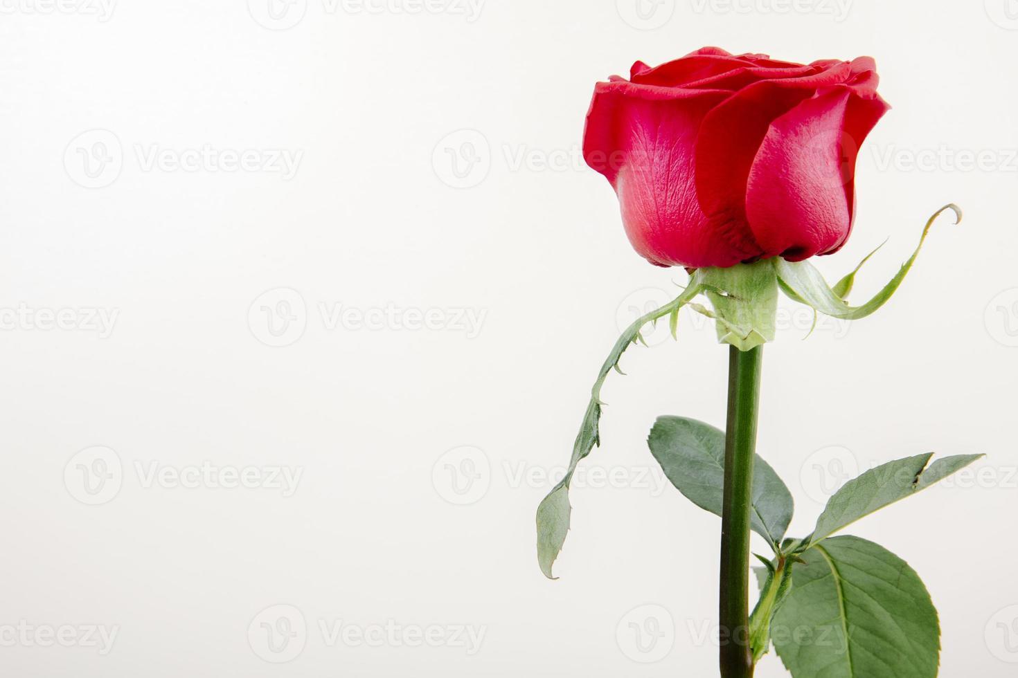 rosa roja aislado sobre un fondo blanco foto