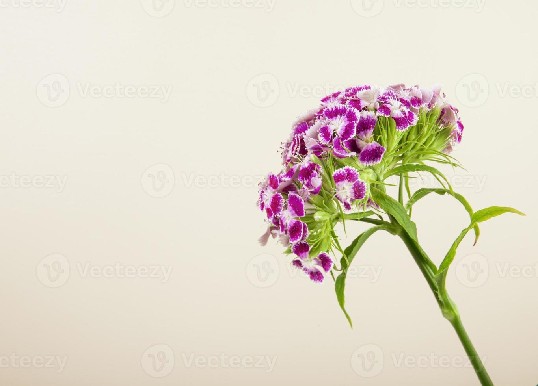 Flores de clavel turco aislado sobre fondo blanco. foto