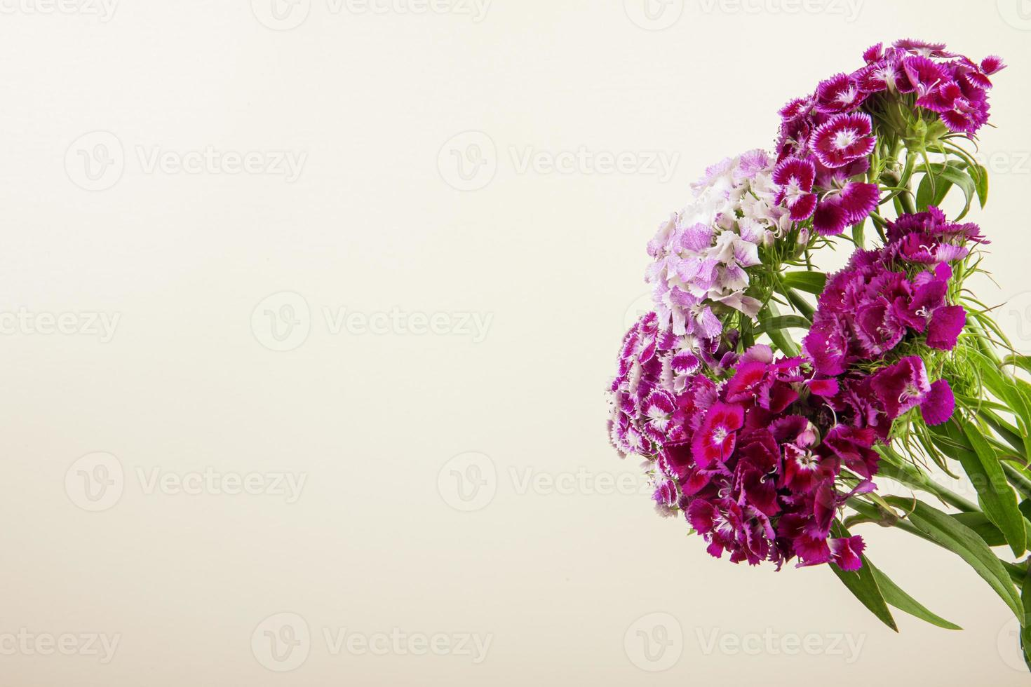 Purple carnations with copy space photo