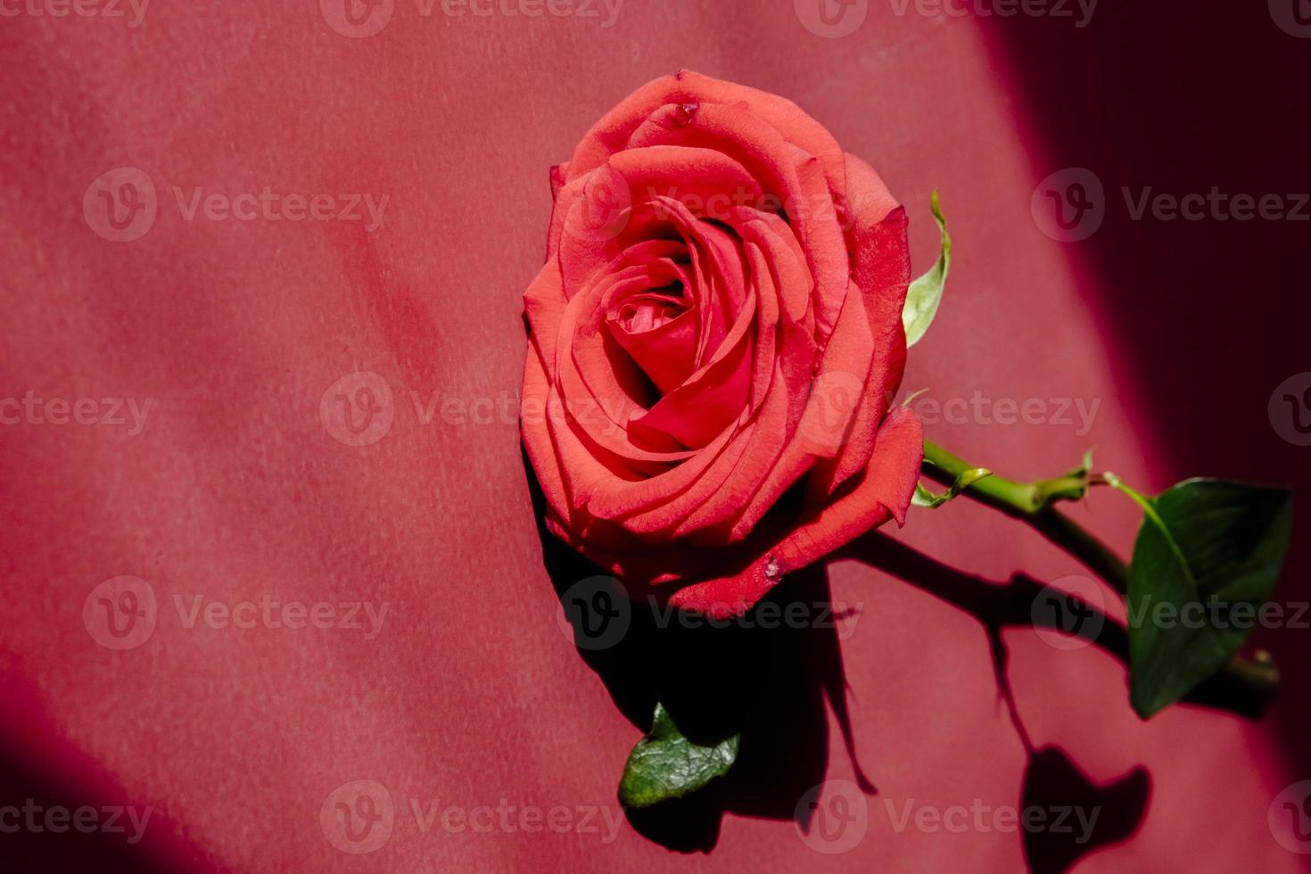 Red rose on red background photo