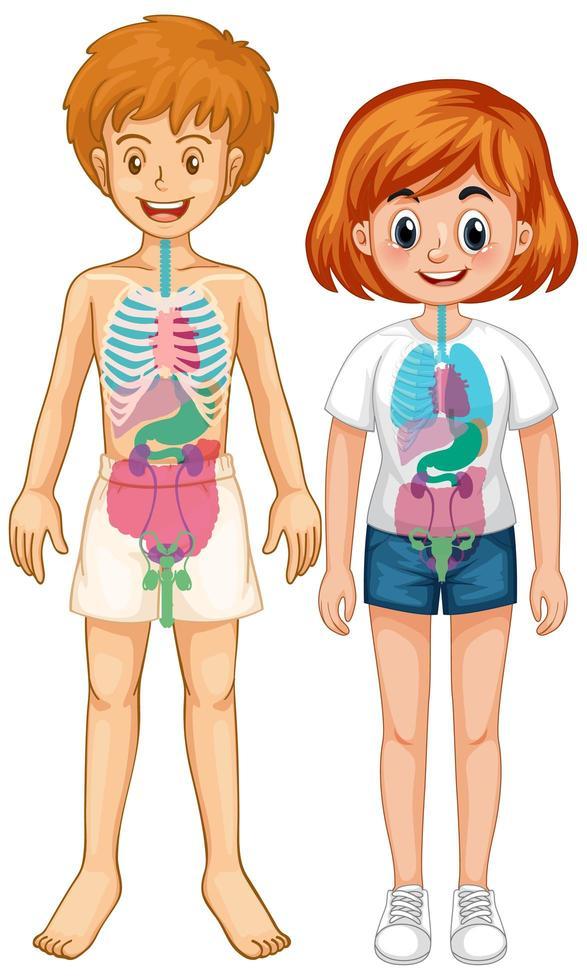 Internal organ of body diagram vector