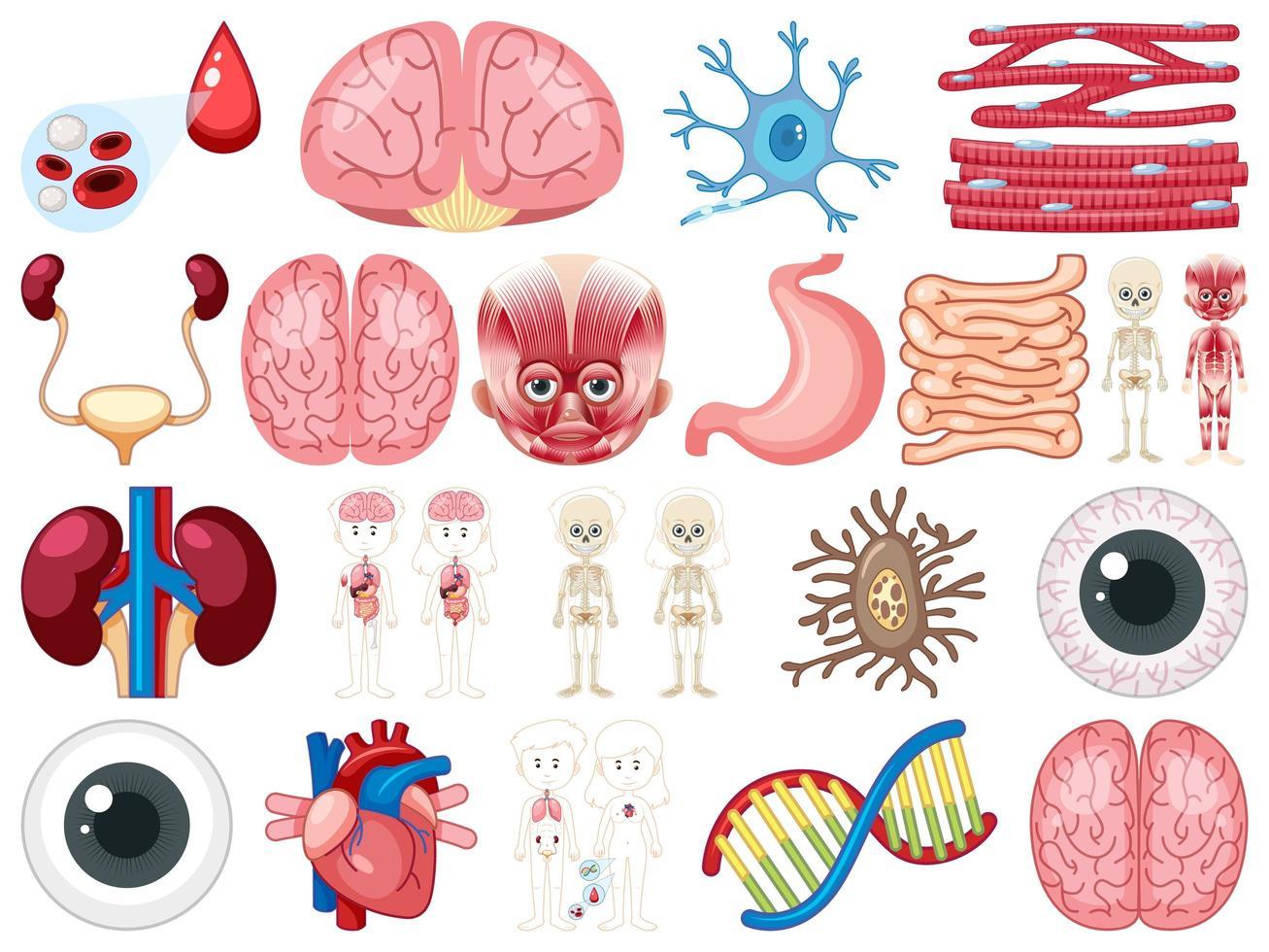 Conjunto de órganos internos humanos aislado sobre fondo blanco. vector