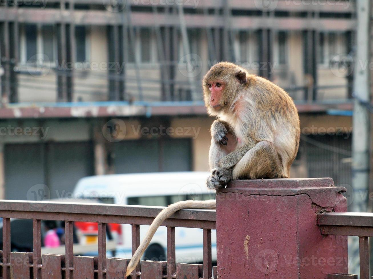 Monkey in Lop Buri Province Thailand photo