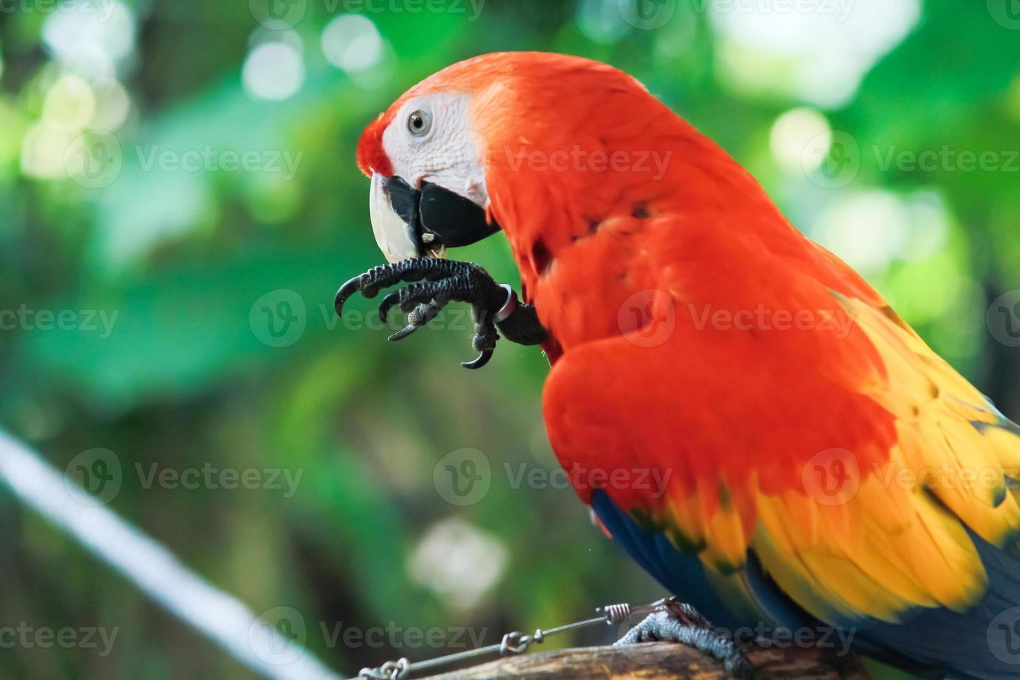 Colorful red parrot bird. photo