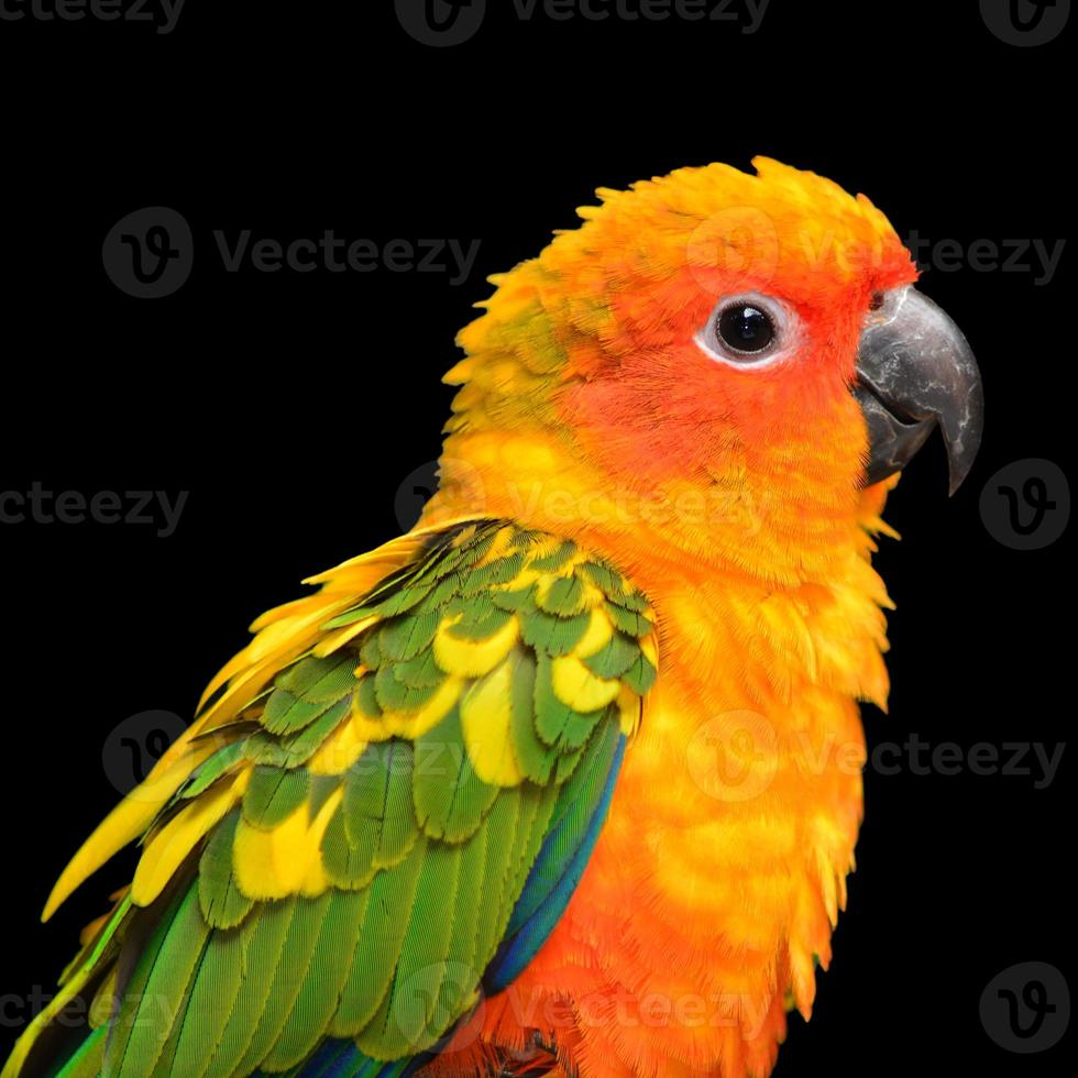 Sun Conure parrot bird photo