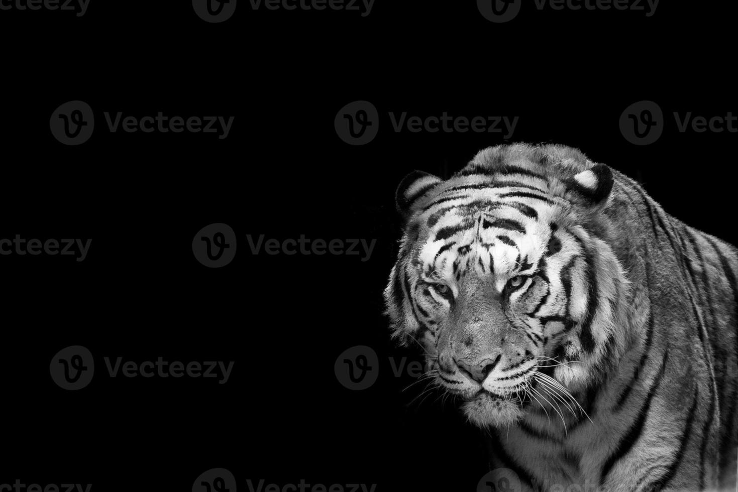 Circus tiger ready to attack looking at you photo