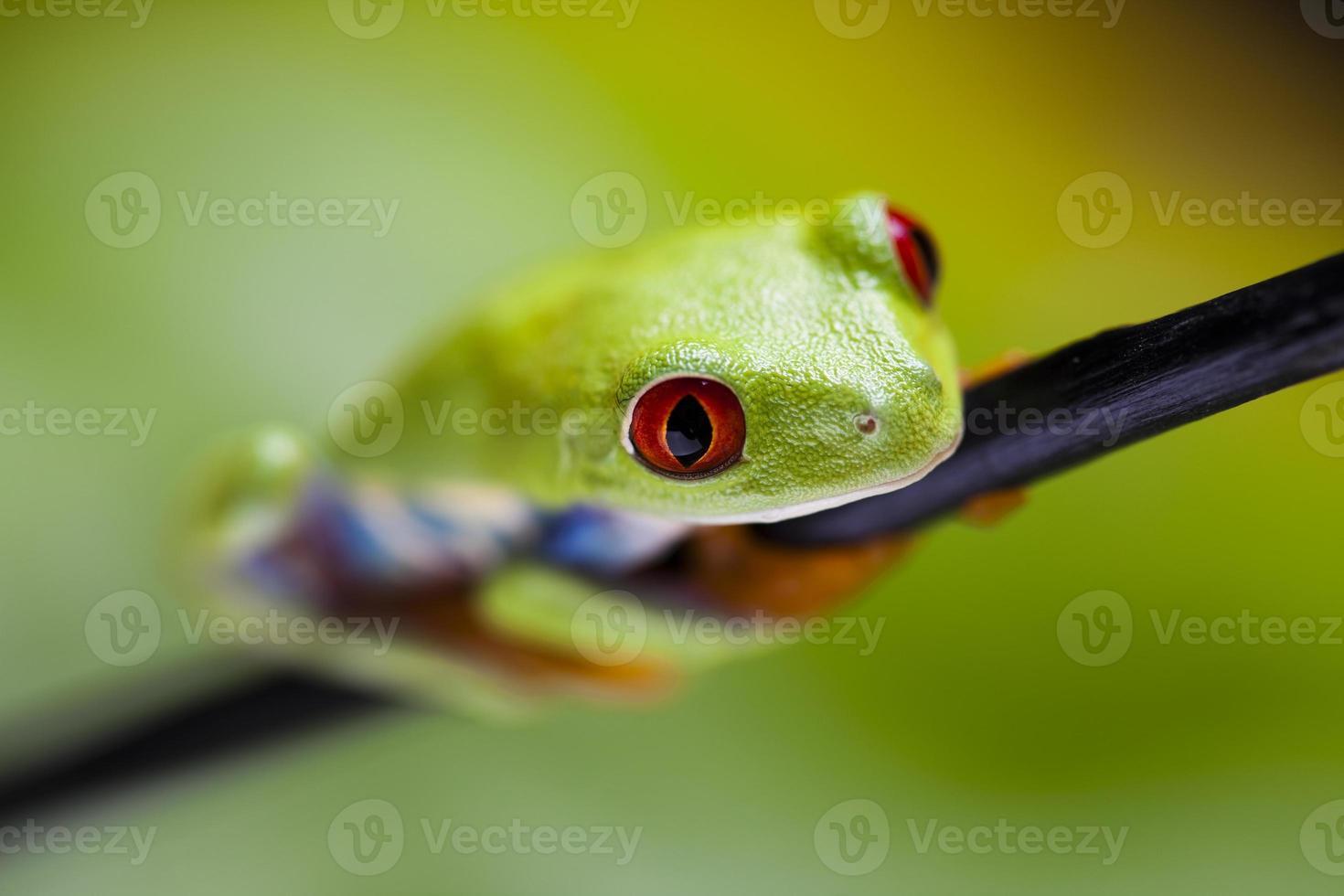Frog on the leaf photo