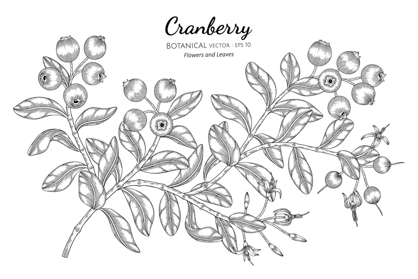 Hand drawn cranberry fruit line art branches vector