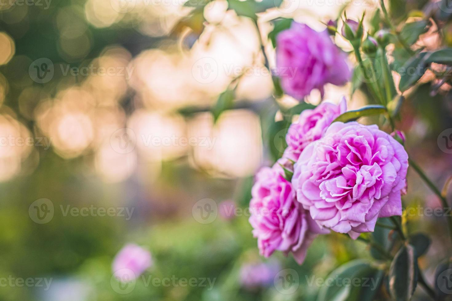 Pink roses in a garden photo
