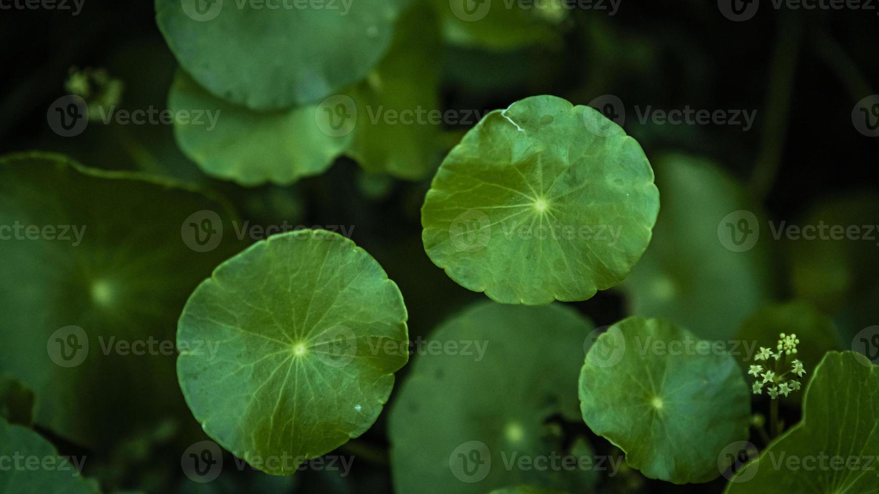 Green gotu kola leaves photo