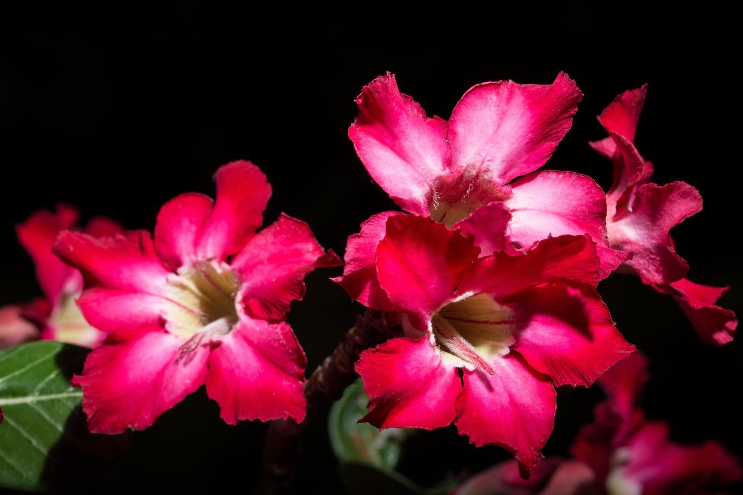 flores rojas sobre fondo negro foto