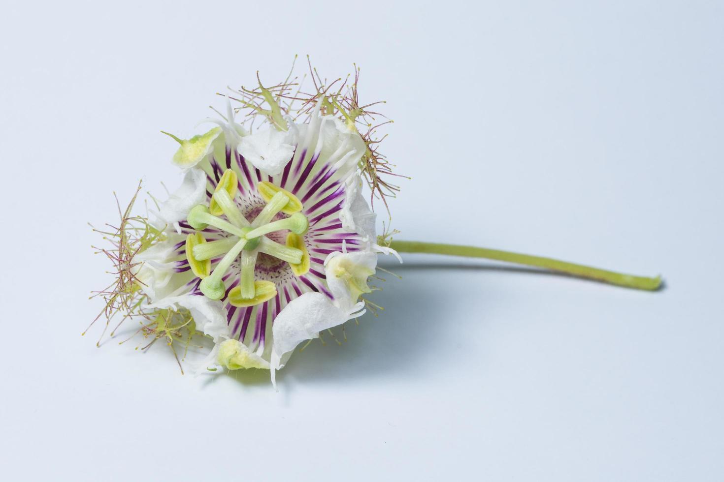flor morada y blanca sobre fondo blanco foto