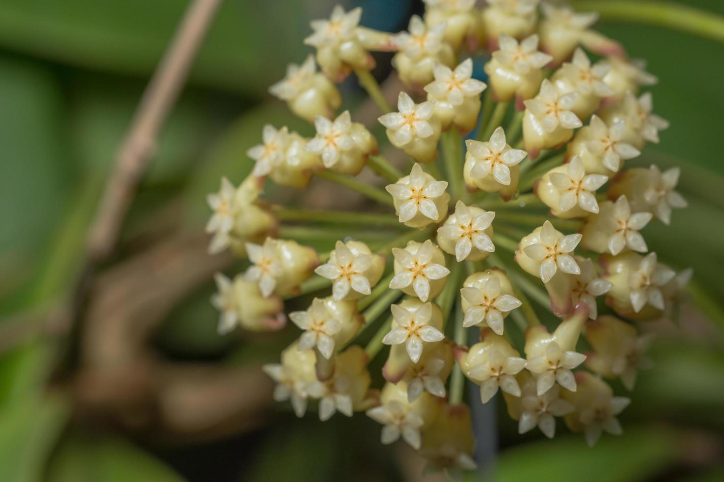 flor de hoya blanca foto