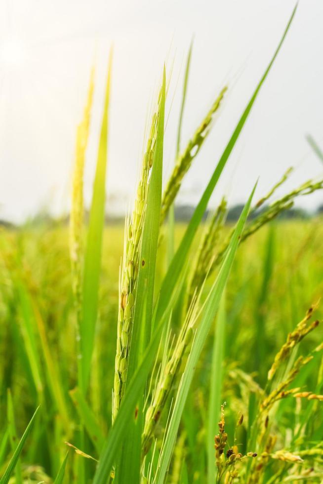 primer plano del campo de arroz verde foto