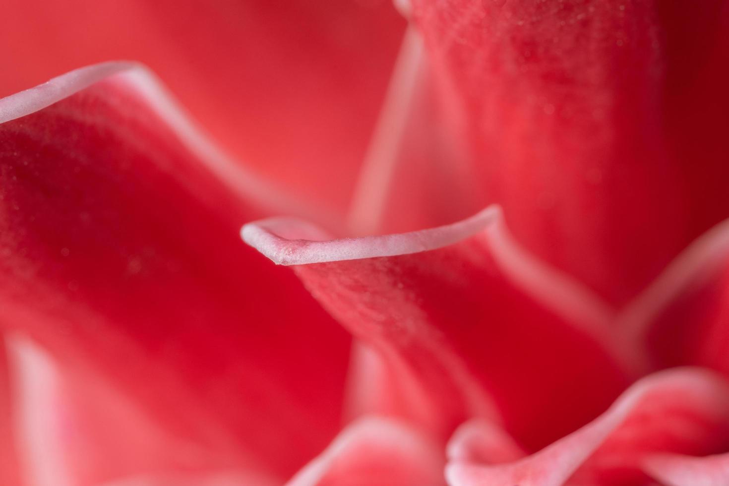 fondo de pétalo de flor rosa foto