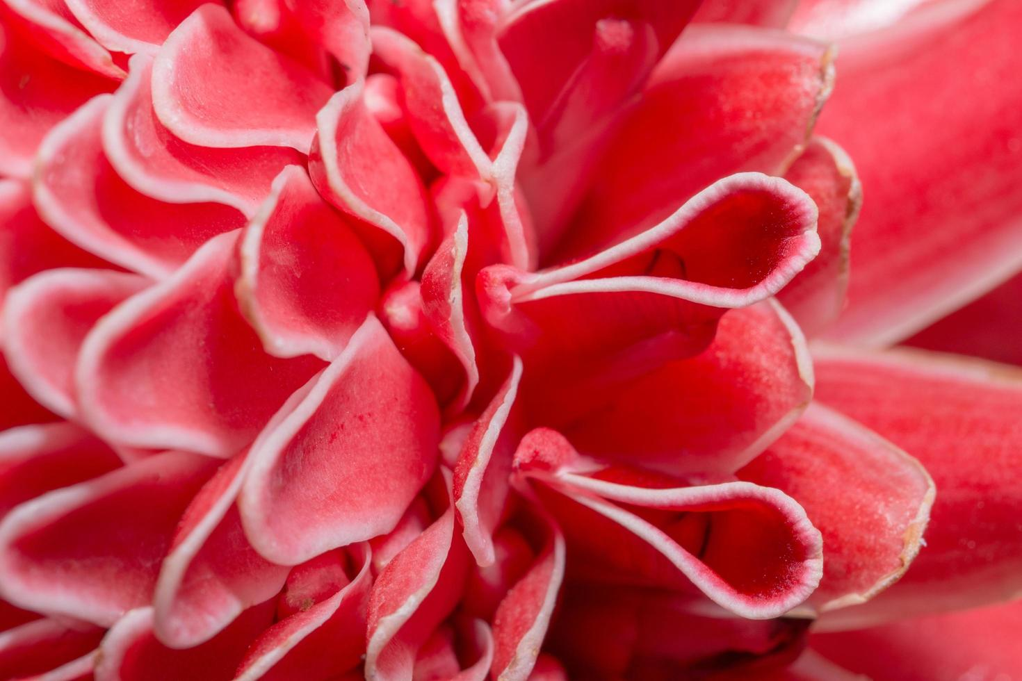 Pink flower petals close-up photo
