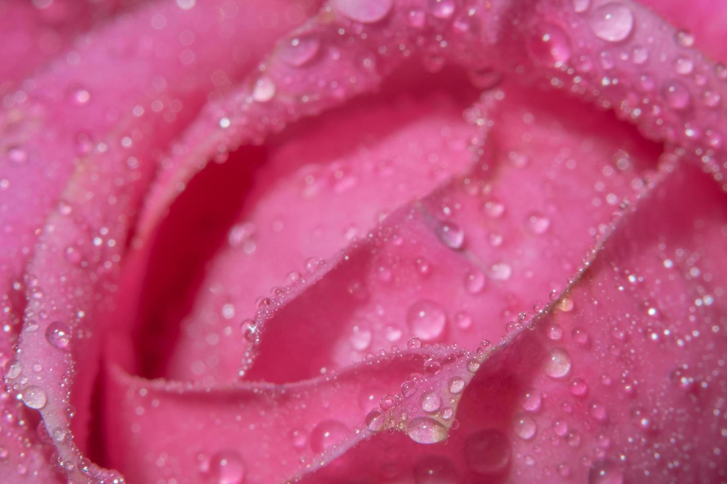 Water drops on rose petals photo