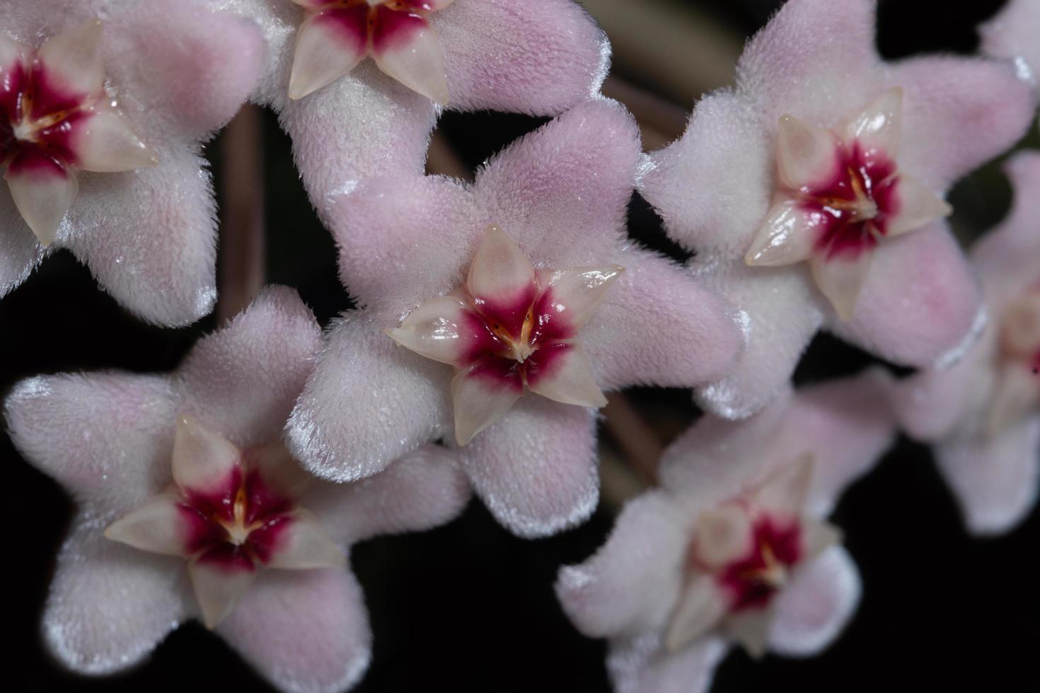 primer plano de flor rosa foto