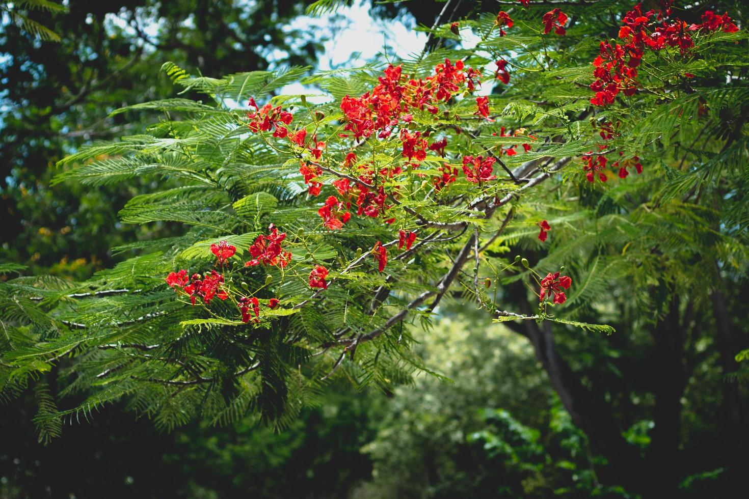 flores rojas de poinciana real fuera foto