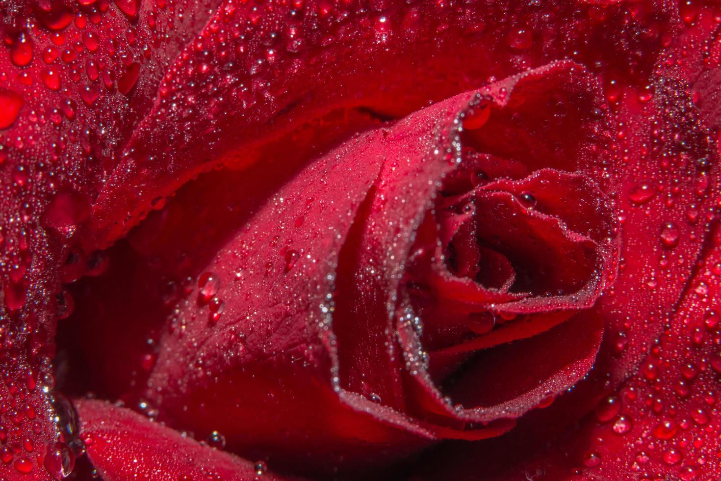 Water drops on a red rose photo