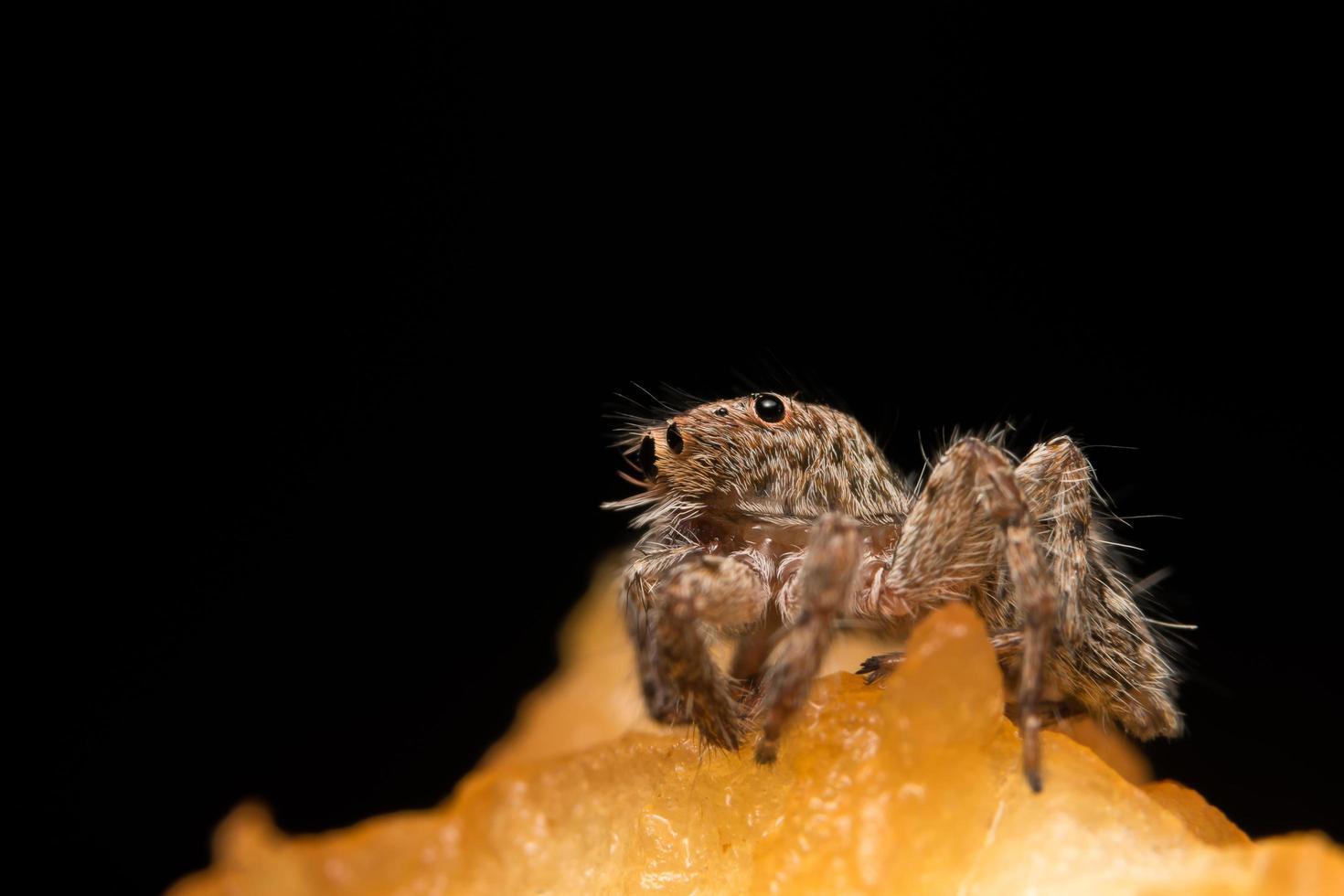 primer plano de la araña hyllus foto