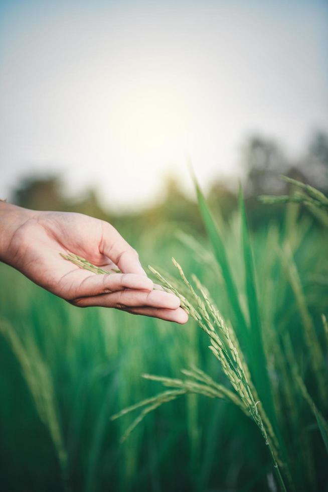 mano tocando una planta de arroz foto