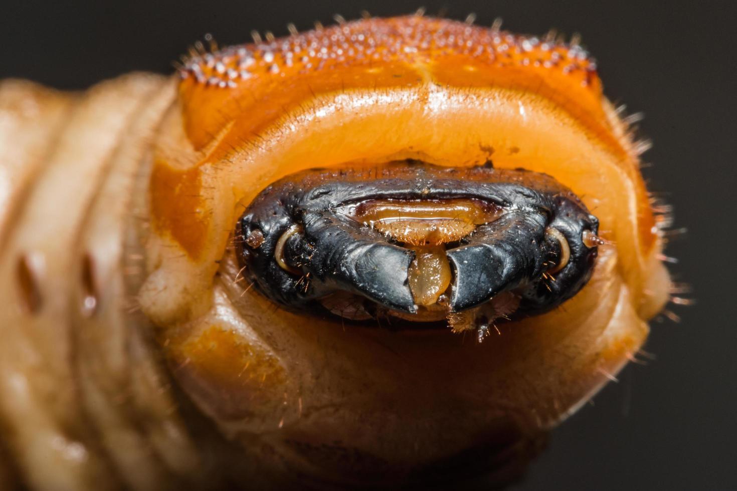 gusano escarabajo, macro foto