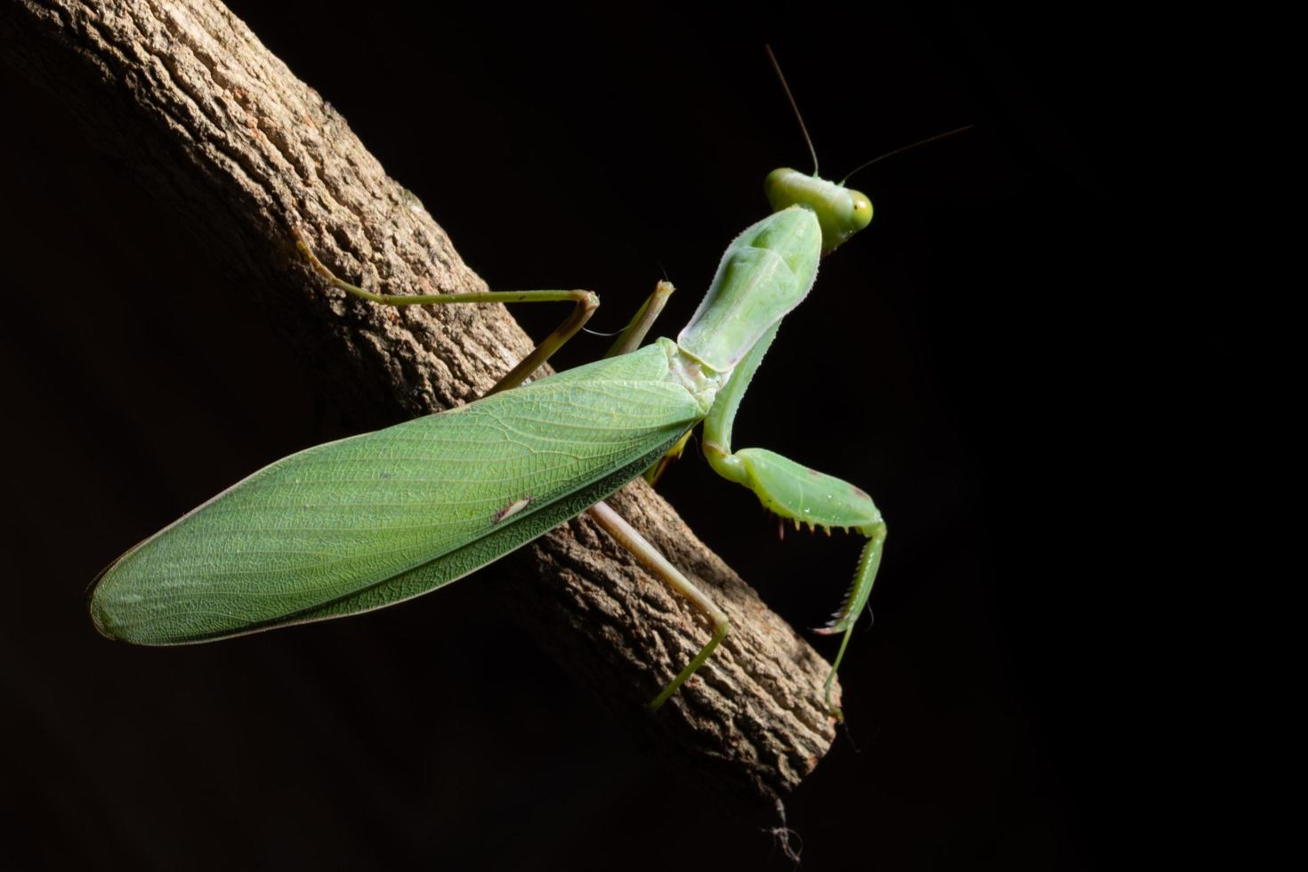Green mantis on a branch photo