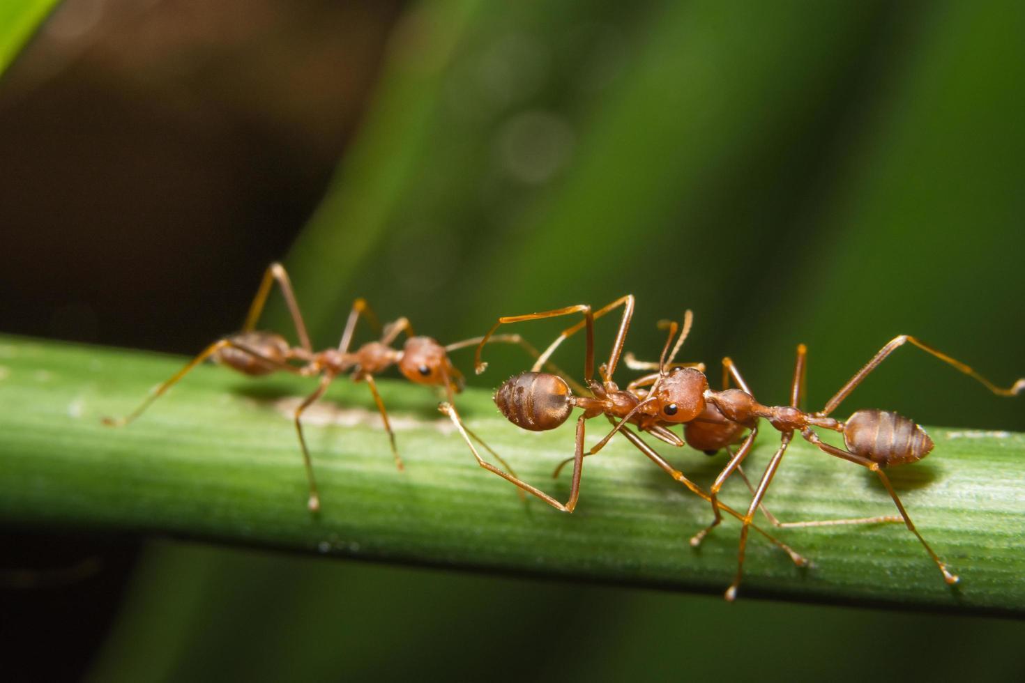 hormigas rojas en una planta foto