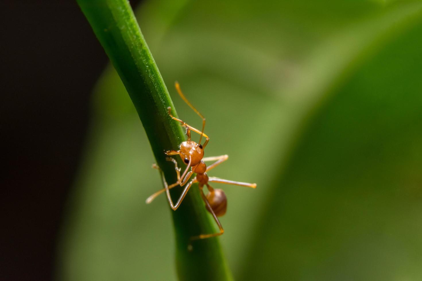 hormiga roja en una planta foto