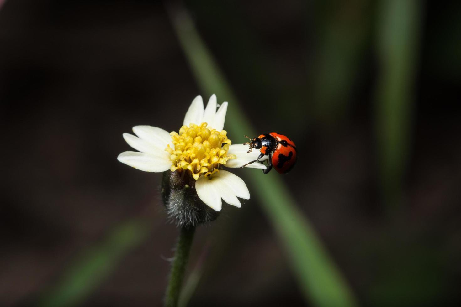 mariquita en una flor foto