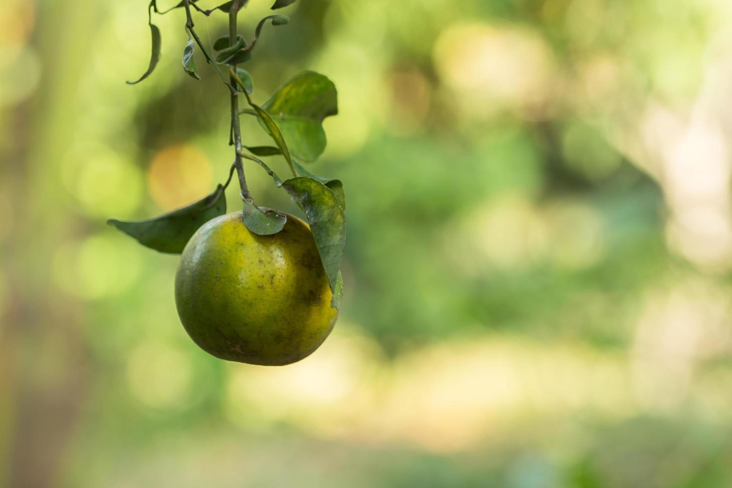 naranja en el arbol foto