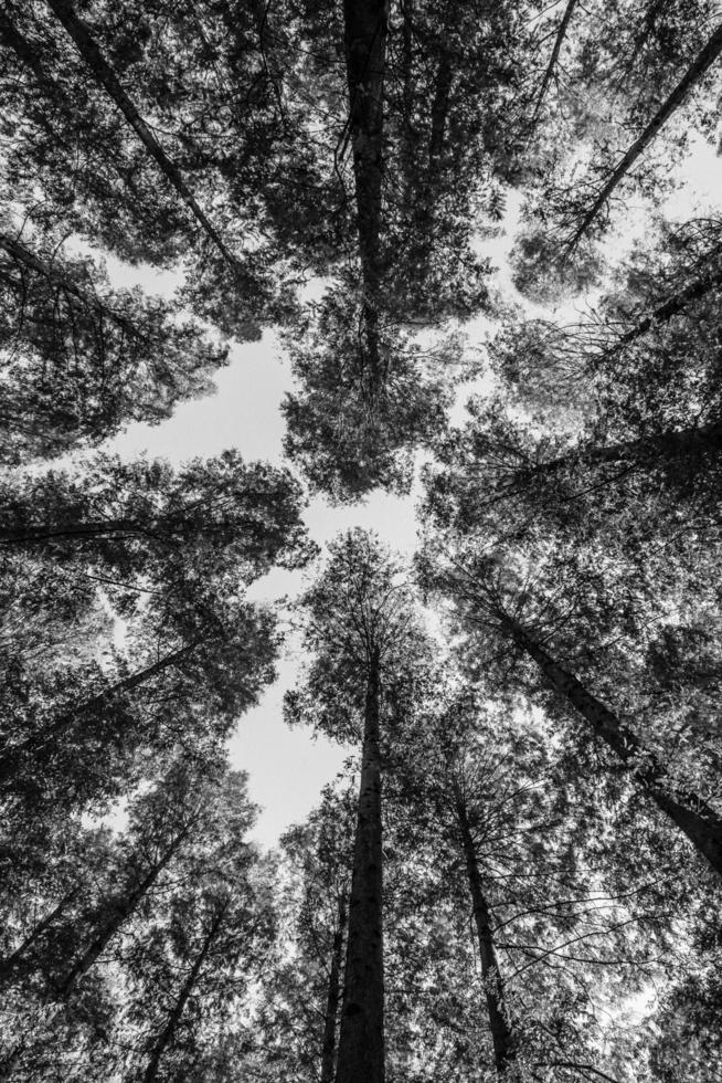 Black and white worms eye view of trees photo