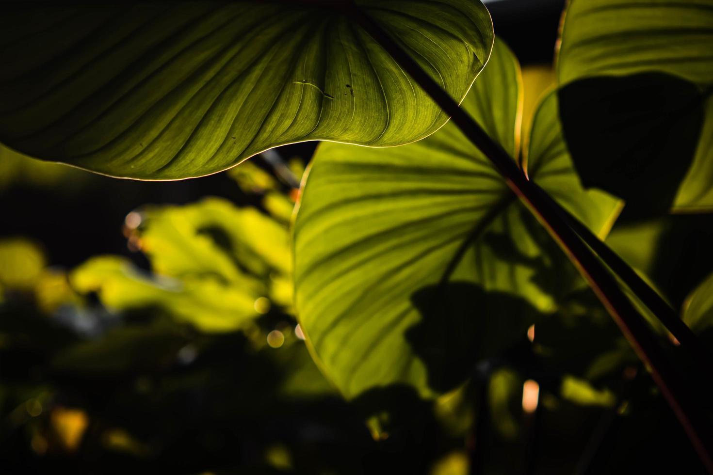 Cerrar hojas verdes de homalomena rubescen.sol a través de hojas verdes, primavera de la naturaleza. foto