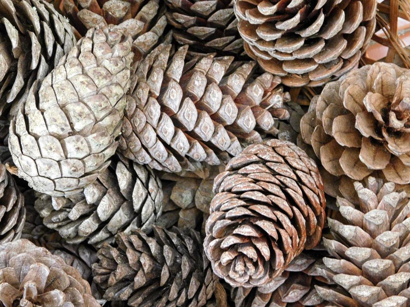 texture of pine cones photo