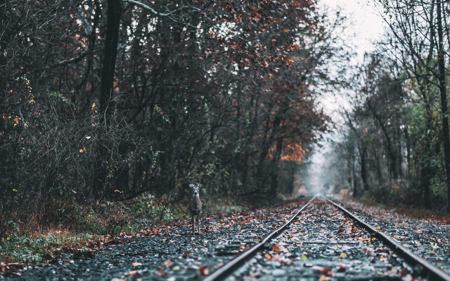 Deer standing near train tracks photo