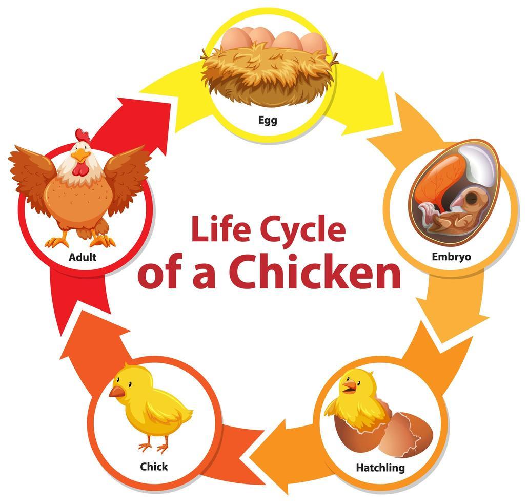 diagrama que muestra el ciclo de vida del pollo vector