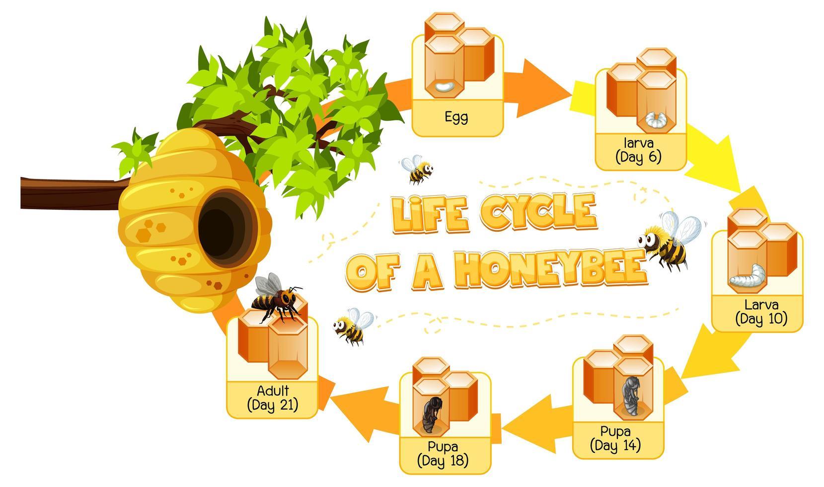 Diagrama que muestra el ciclo de vida de la abeja melífera. vector