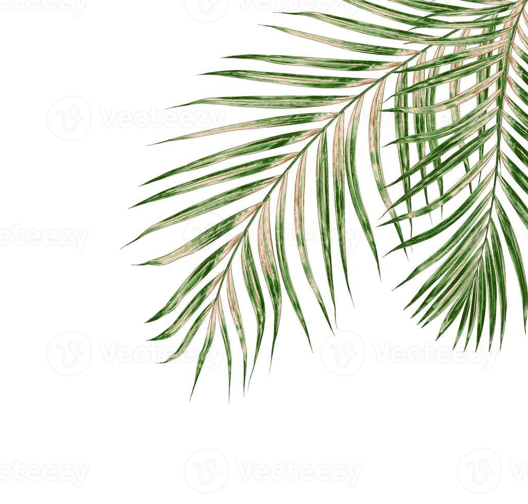 hojas de palmera sobre fondo blanco foto