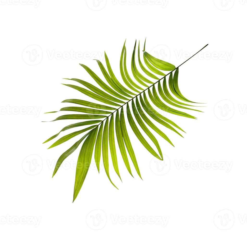 Green leaf of palm tree background photo