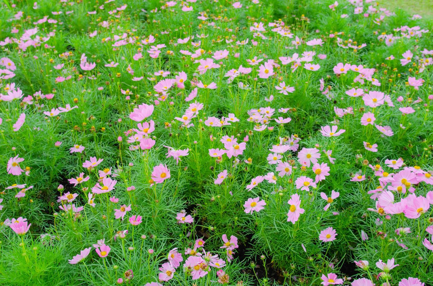 Pink flowers in the garden photo