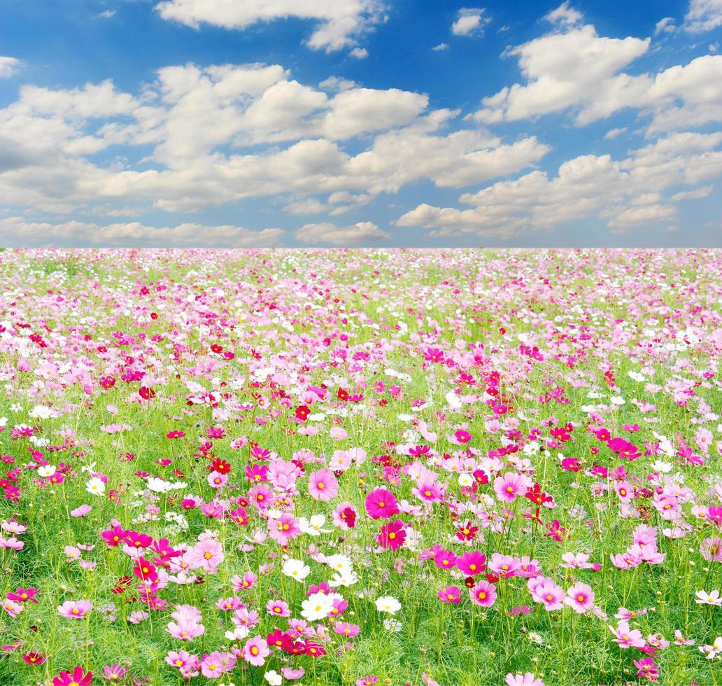 Field of Cosmos Flowers and sky photo