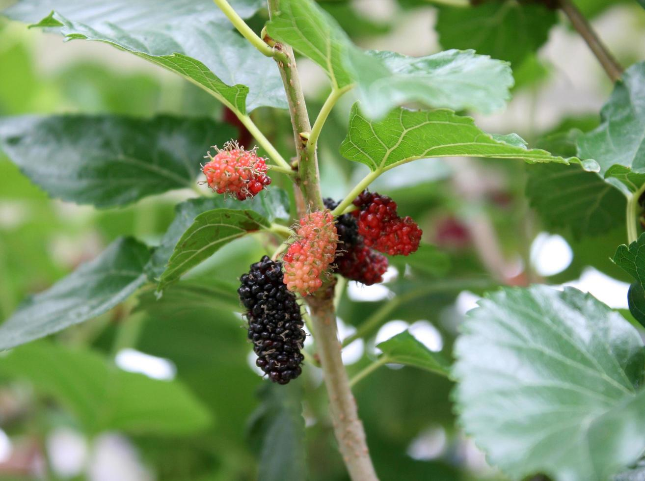 Berries growing outside photo