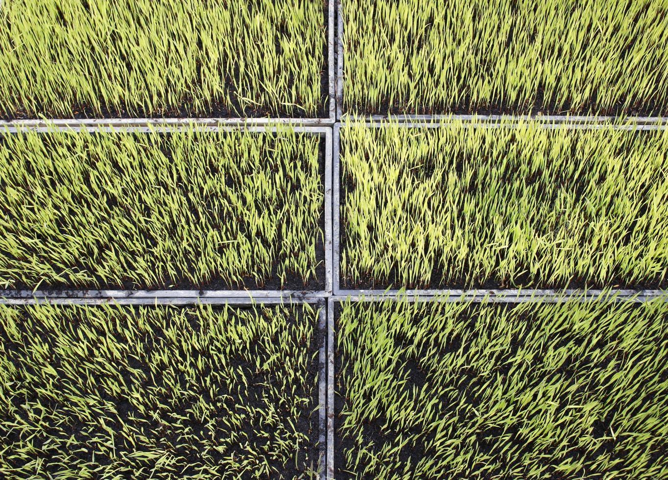 rice plant seedings farm garden photo