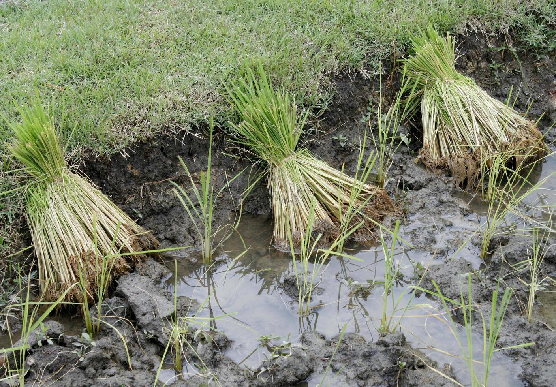 paquetes de plantas de arroz foto