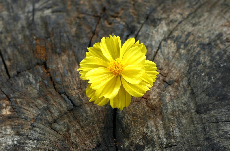 Marigold on grunge wooden table photo