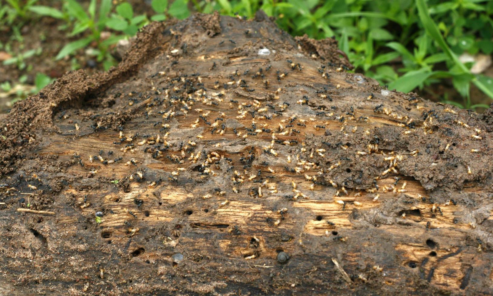 termitas en una tabla de madera foto
