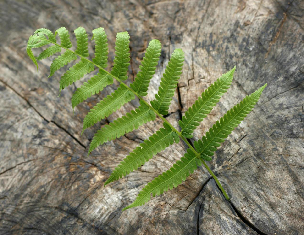 wooden background with green fern photo