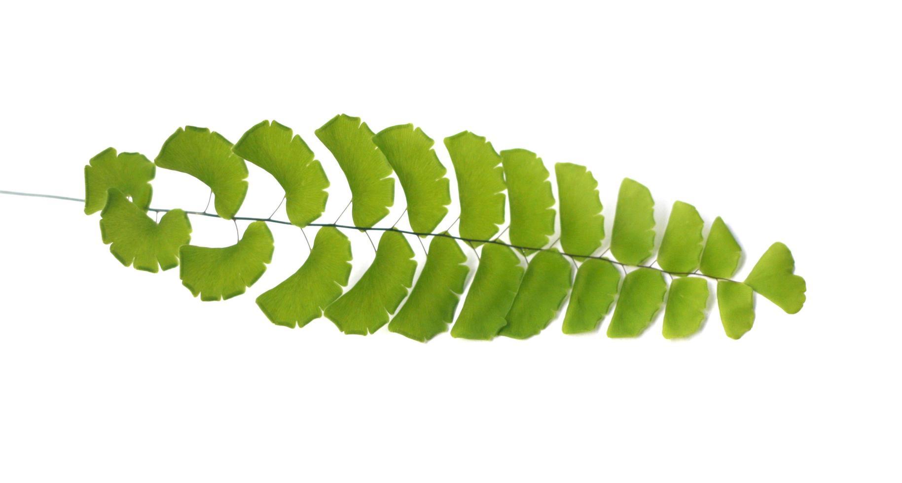 rama de culantrillo aislado en blanco foto